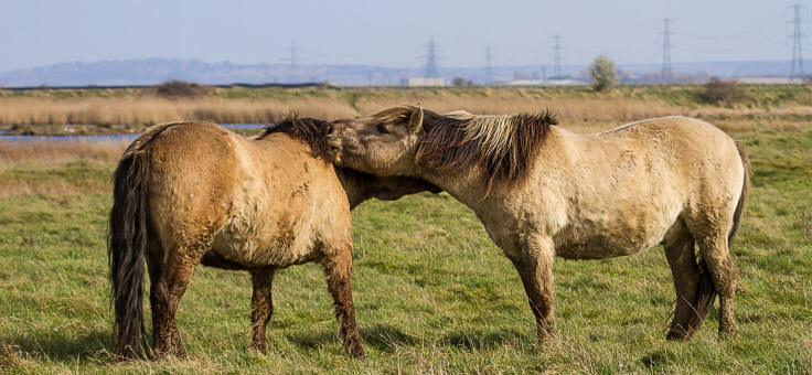 Two Konik horses nuzzling each other at Oare Marsh Nature Reserve in golden light, early Spring. Oare, Faversham, Kent, UK